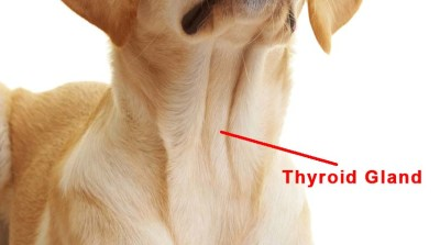 Where a dogs thyroid gland is located