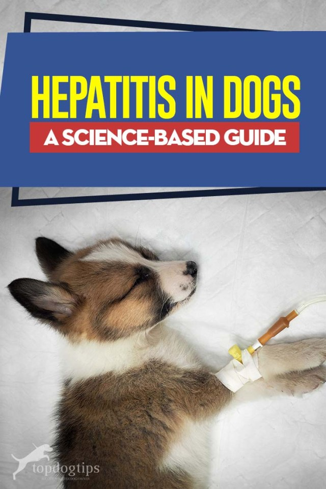 Hepatitis in Dogs - A Science-based Guide