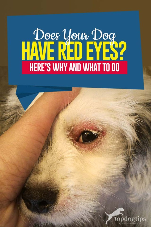 My Dog Has Red Eyes Here's - This Is Why and What to Do