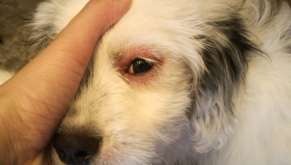 My Dog Has Red Eyes - Here's Why and What to Do