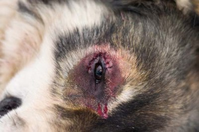 This is what a case of entropion in a dog looks like