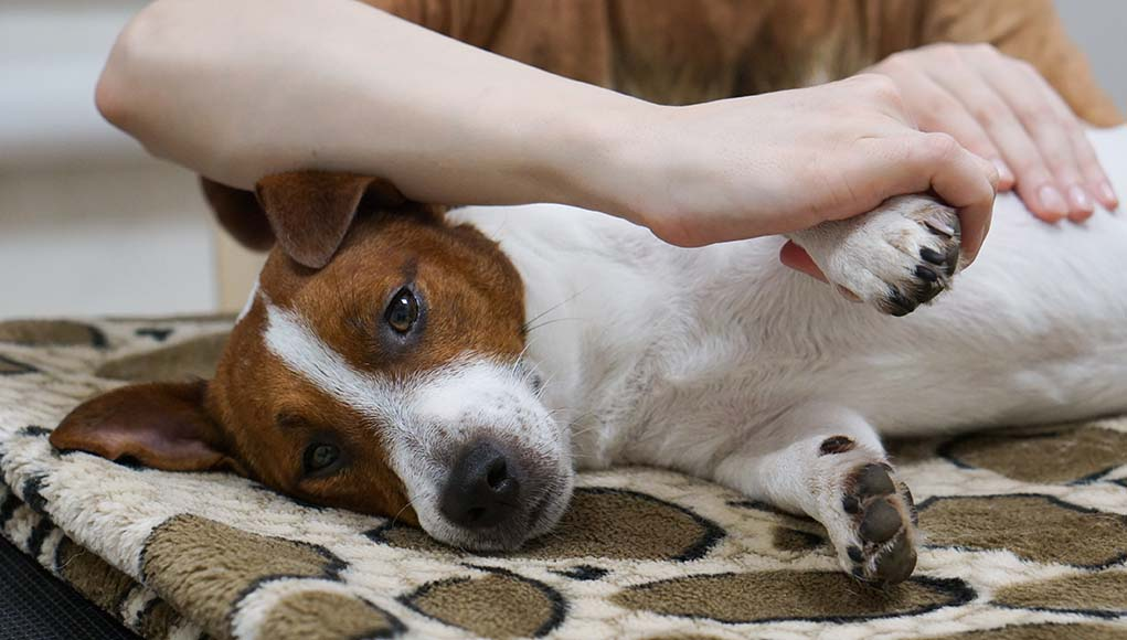 Dog Arthritis Massage - Its Benefits and How to Do It