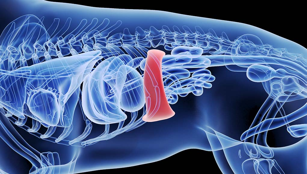 Spleen Tumor in Dogs - Signs, Causes, Treatment