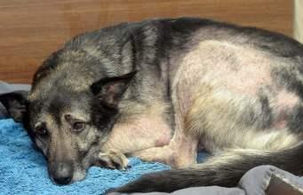 Hemorrhagic Gastroenteritis in Dogs (HGE)