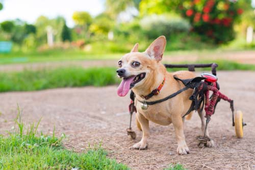 Prognosis for Dogs with Slipped Disc