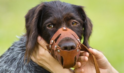 An aggressive dog with a dog muzzle