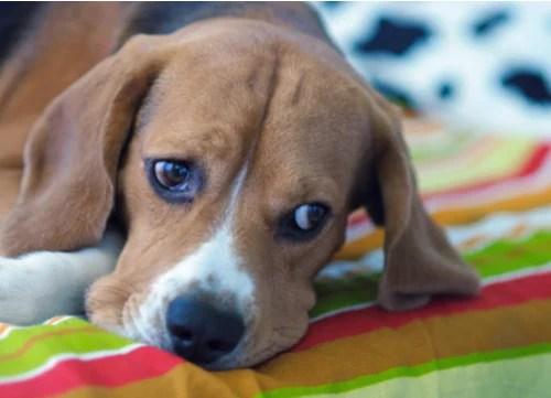 addison disease in dog