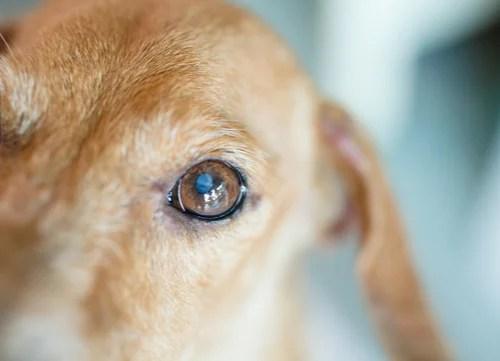 dog with cataract