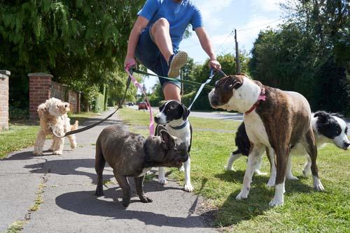 man struggling to walk dogs