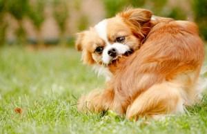 best ways to kill fleas on dogs