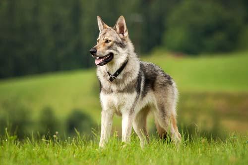 kugsha dog breed