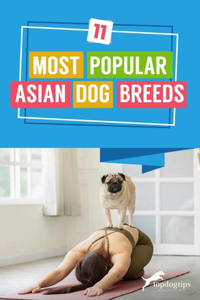 11-Most-Popular-Asian-Dog-Breeds