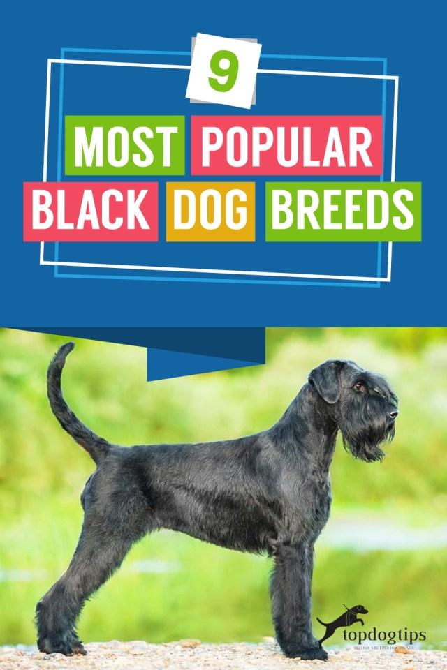 9-Most-Popular-Black-Dog-Breeds