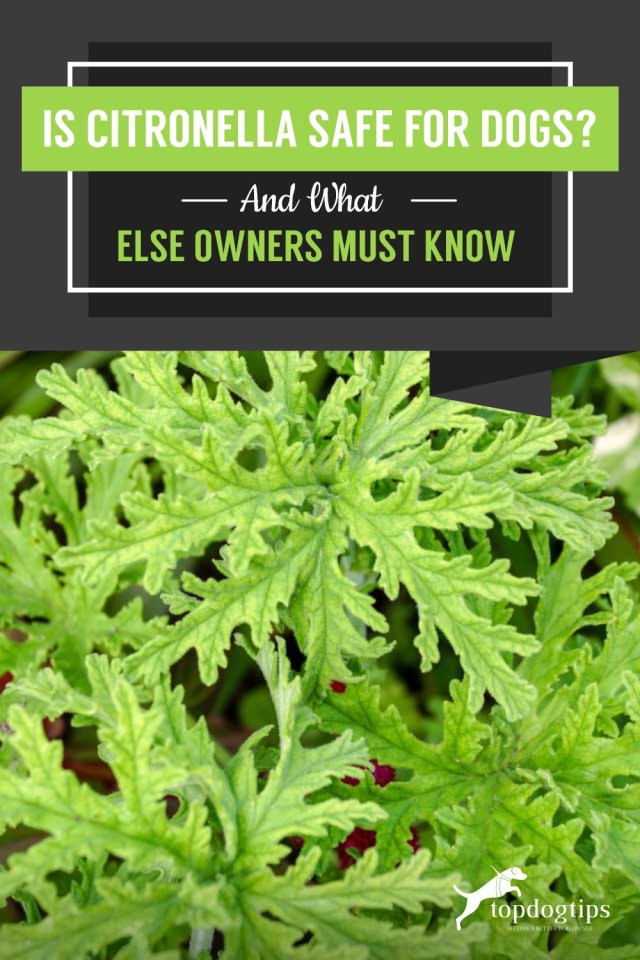Is Citronella Safe for Dogs And What Else Owners Must KnowIs Citronella Safe for Dogs And What Else Owners Must Know