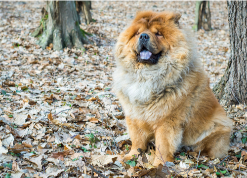 chow chow sitting in leaves