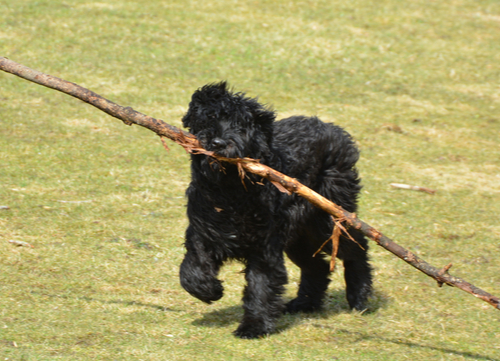 bouvier des flandres with stick in mouth