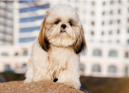 chinese imperial dog
