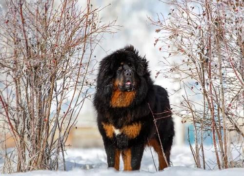 tibetan mastiff dog breeed