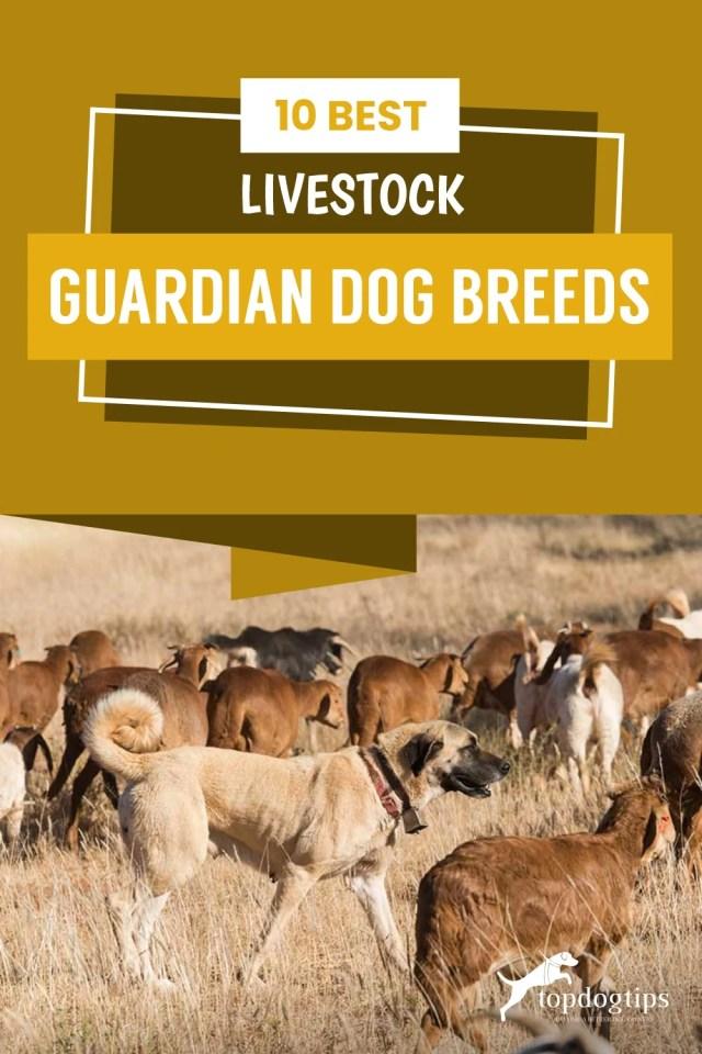10-Best-Livestock-Guardian-Dog-Breeds