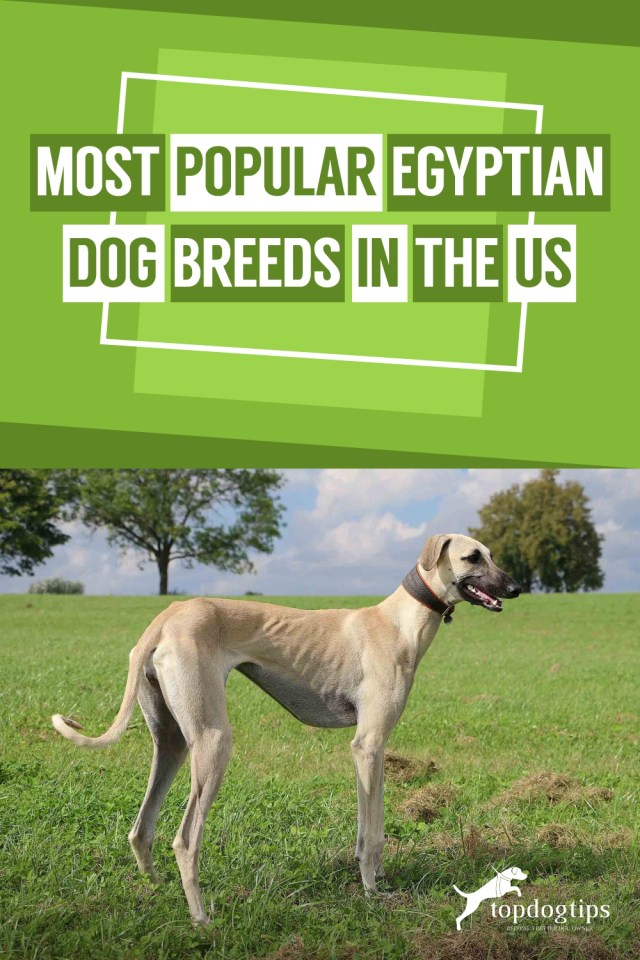 Most Popular Egyptian Dog Breeds in the United States