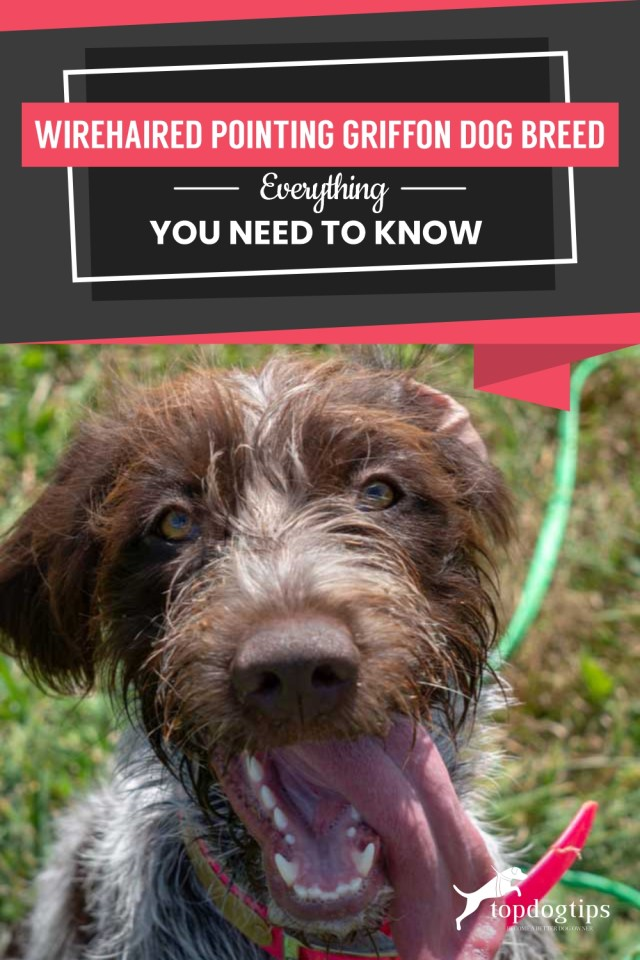 Wirehaired Pointing Griffon Dog Breed Everything You Need To Know