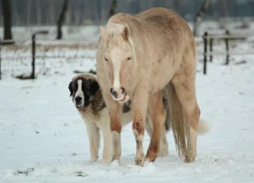 pyrenean mastiff next to horse