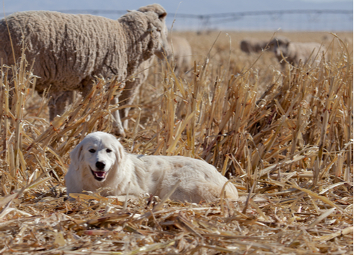 great pyrenees with sheep
