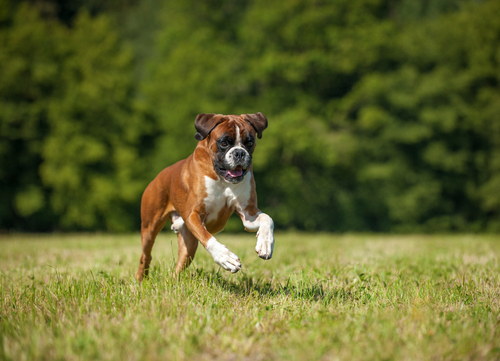 boxer running and playing dangerous dog breeds