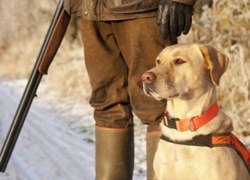 best hunting dogs Labrador retriever