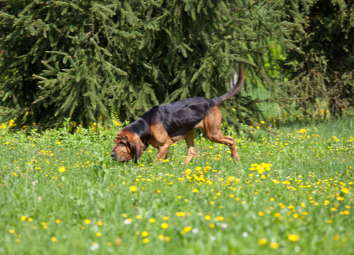best hunting dogs blood hound
