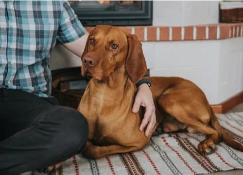 Hungarian dog breeds Vizsla