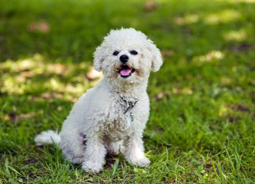 Healthiest dog breeds Bichon Frise
