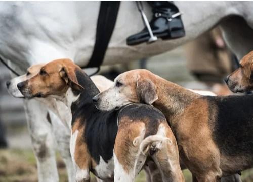 best hunting dogs fox hound