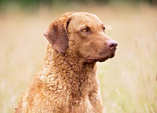best hunting dogs Chesapeake Bay Retriever