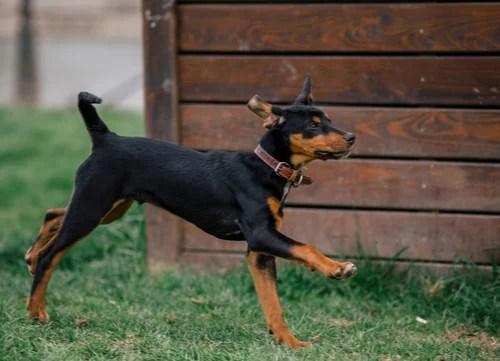 Hungarian dog breeds Transylvanian Hound