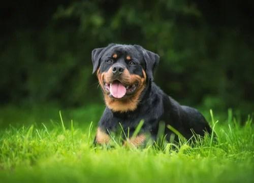 rottweiler sitting dangerous dog breeds