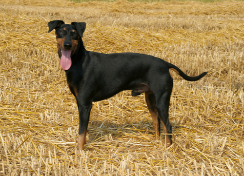 manchester terrier healthiest small and medium dog breeds
