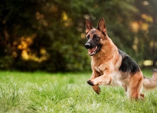 german shepherd playing dangerous dog breeds