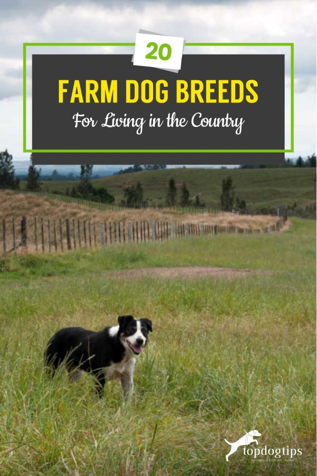 20 Farm Dog Breeds for Living in the Country