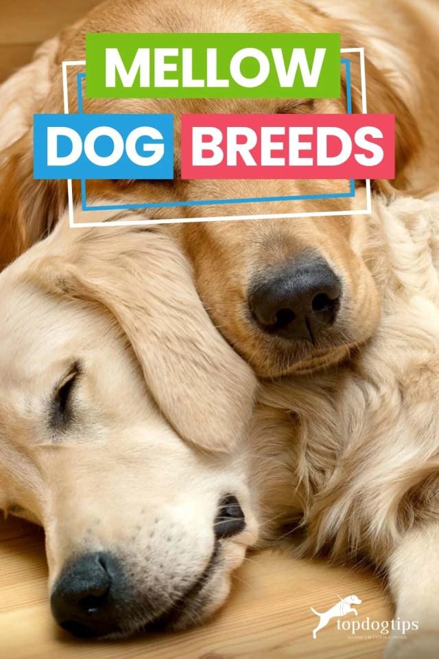 Mellow Dog Breeds