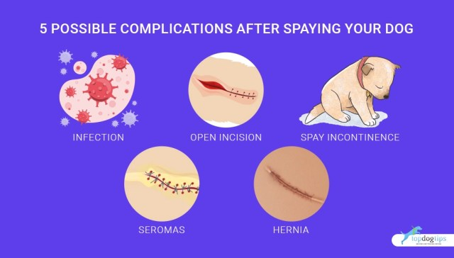 5 Possible Complications After Spaying Your Dog 1