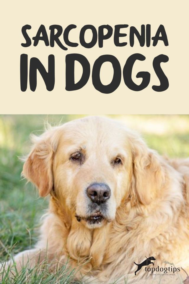 Sarcopenia-in-Dogs