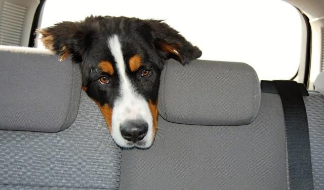sad dog in car