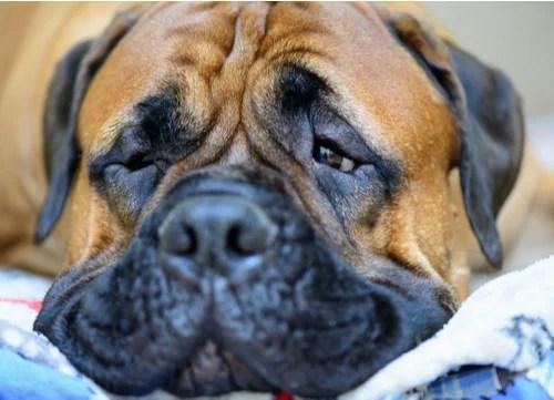 wrinkly dog breeds Bullmastiff