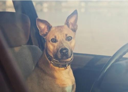 dog inside a hot car