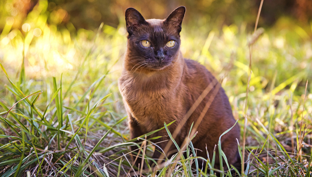 Burmese Cat Breed