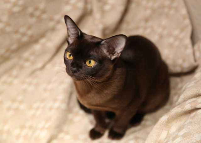 Caring and Grooming A Burmese Cat