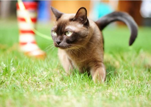 Burmese Cat's Personality and Temperament
