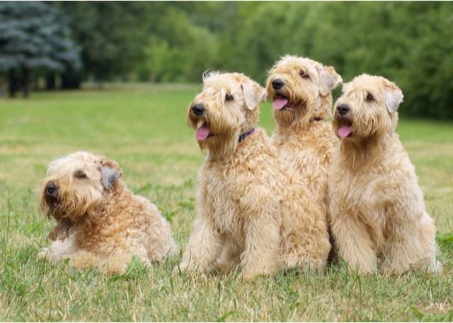 reputable dog breeder