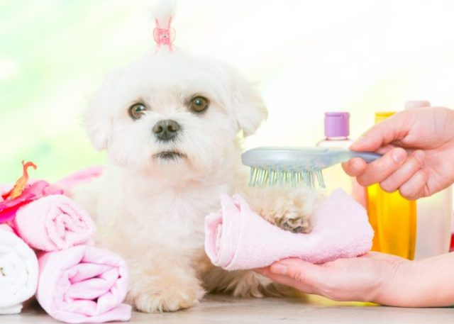 Your dog must be well-groomed before you go out.
